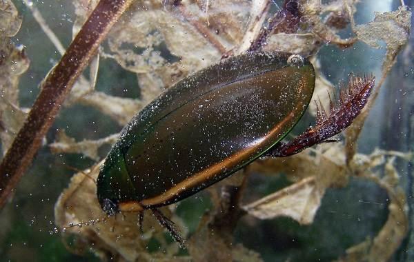 Плавунец-жук-насекомое-Описание-особенности-виды-образ-жизни-и-среда-обитания-плавунца-10