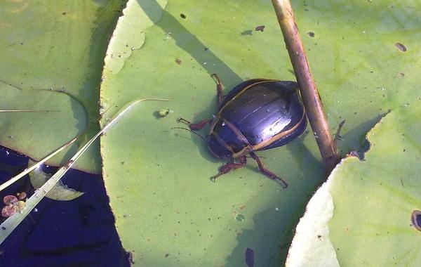 Плавунец-жук-насекомое-Описание-особенности-виды-образ-жизни-и-среда-обитания-плавунца-14
