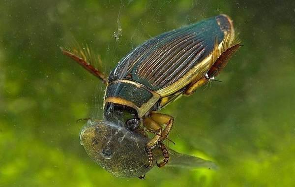 Плавунец-жук-насекомое-Описание-особенности-виды-образ-жизни-и-среда-обитания-плавунца-3