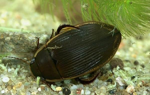Плавунец-жук-насекомое-Описание-особенности-виды-образ-жизни-и-среда-обитания-плавунца-6