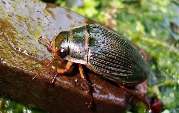 Плавунец-жук-насекомое-Описание-особенности-виды-образ-жизни-и-среда-обитания-плавунца-9