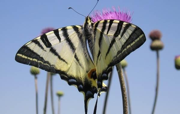 Подалирий-бабочка-насекомое-Описание-особенности-виды-и-образ-жизни-бабочки-подалирий-1