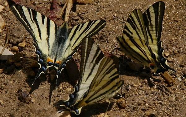Подалирий-бабочка-насекомое-Описание-особенности-виды-и-образ-жизни-бабочки-подалирий-10