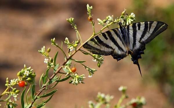 Подалирий-бабочка-насекомое-Описание-особенности-виды-и-образ-жизни-бабочки-подалирий-11