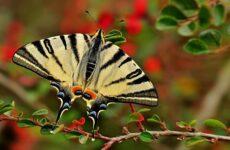 Подалирий бабочка насекомое. Описание, особенности, виды и образ жизни бабочки подалирий