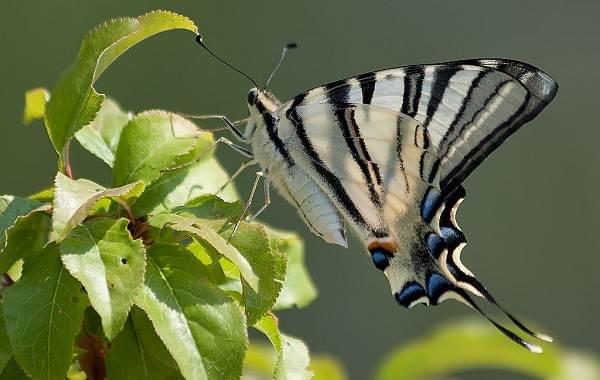 Подалирий-бабочка-насекомое-Описание-особенности-виды-и-образ-жизни-бабочки-подалирий-3