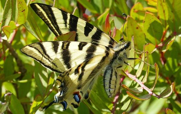 Подалирий-бабочка-насекомое-Описание-особенности-виды-и-образ-жизни-бабочки-подалирий-4