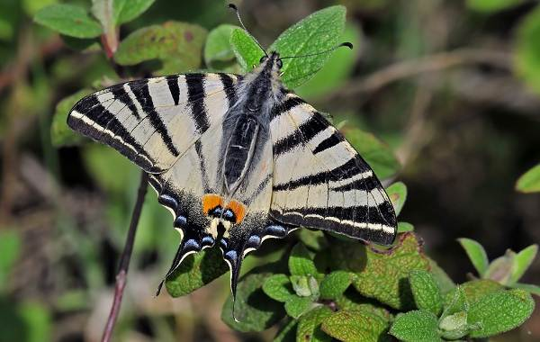 Подалирий-бабочка-насекомое-Описание-особенности-виды-и-образ-жизни-бабочки-подалирий-5