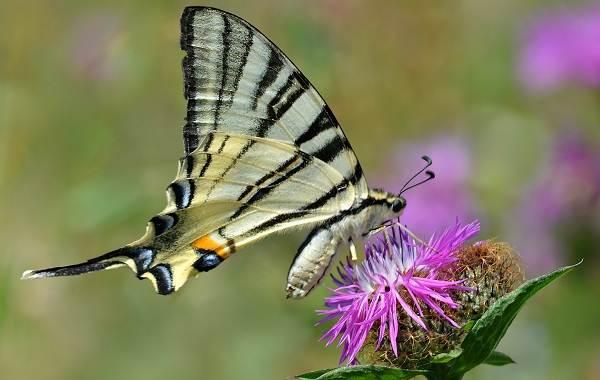 Подалирий-бабочка-насекомое-Описание-особенности-виды-и-образ-жизни-бабочки-подалирий-6