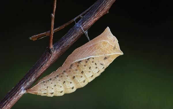 Подалирий-бабочка-насекомое-Описание-особенности-виды-и-образ-жизни-бабочки-подалирий-8