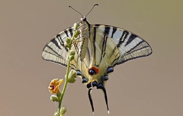 Подалирий-бабочка-насекомое-Описание-особенности-виды-и-образ-жизни-бабочки-подалирий-9