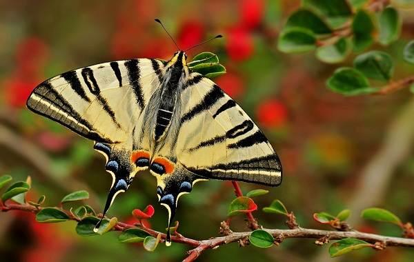 Подалирий-бабочка-насекомое-Описание-особенности-виды-и-образ-жизни-бабочки-подалирий
