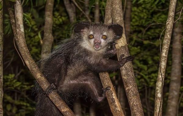 Руконожка-ай-ай-животное-Описание-особенности-виды-образ-жизни-и-среда-обитания-руконожки-1