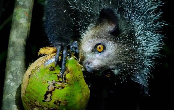 Руконожка-ай-ай-животное-Описание-особенности-виды-образ-жизни-и-среда-обитания-руконожки-10
