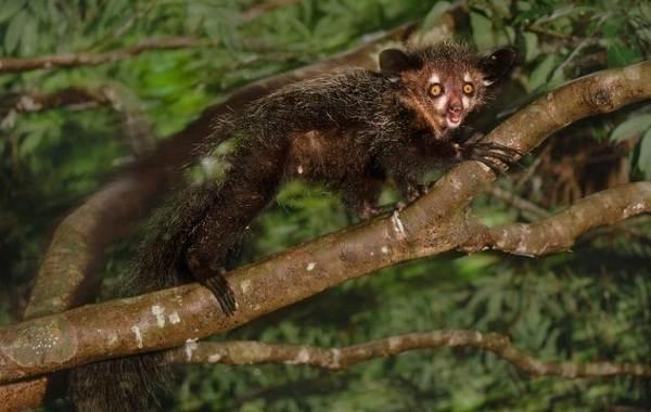 Руконожка-ай-ай-животное-Описание-особенности-виды-образ-жизни-и-среда-обитания-руконожки-2