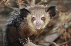 Руконожка ай-ай животное. Описание, особенности, виды, образ жизни и среда обитания руконожки