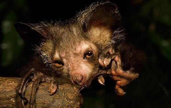 Руконожка-ай-ай-животное-Описание-особенности-виды-образ-жизни-и-среда-обитания-руконожки-3