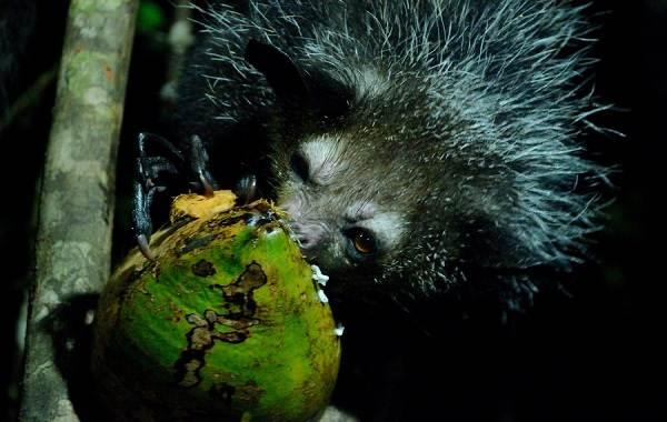 Руконожка-ай-ай-животное-Описание-особенности-виды-образ-жизни-и-среда-обитания-руконожки-4