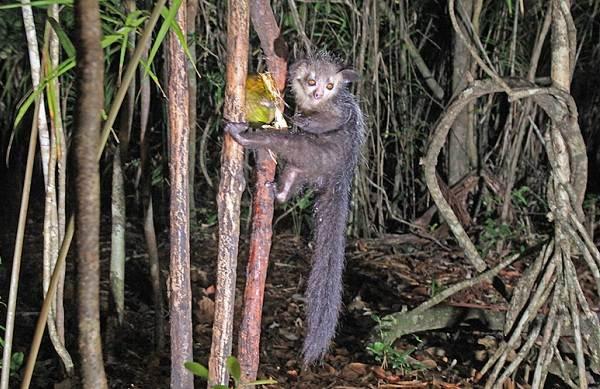 Руконожка-ай-ай-животное-Описание-особенности-виды-образ-жизни-и-среда-обитания-руконожки-5
