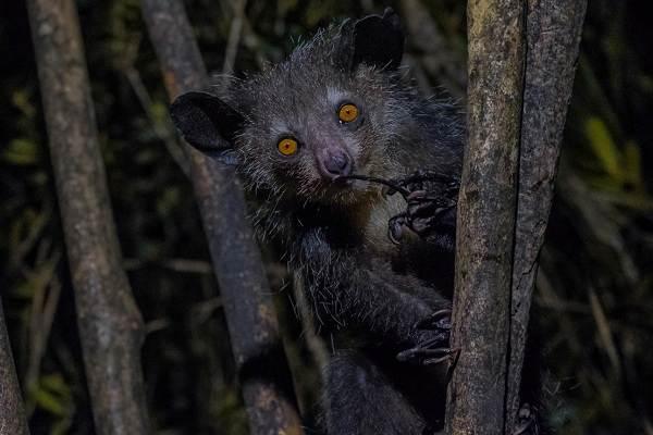 Руконожка-ай-ай-животное-Описание-особенности-виды-образ-жизни-и-среда-обитания-руконожки-7