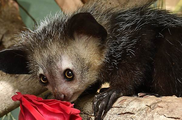Руконожка-ай-ай-животное-Описание-особенности-виды-образ-жизни-и-среда-обитания-руконожки-9
