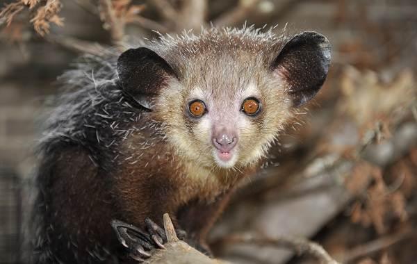 Руконожка-ай-ай-животное-Описание-особенности-виды-образ-жизни-и-среда-обитания-руконожки