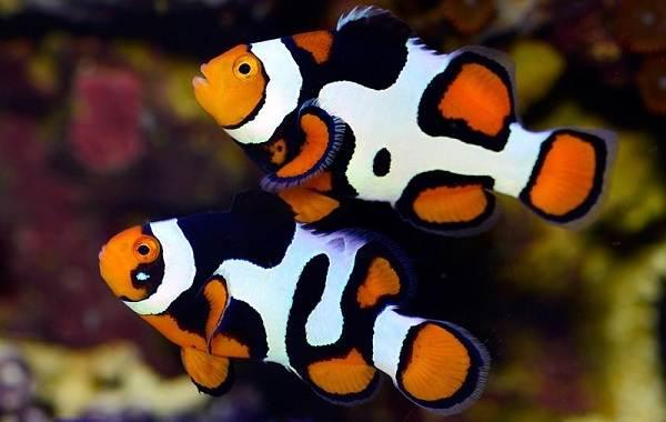 Рыба-клоун-Описание-особенности-виды-образ-жизни-и-среда-обитания-рыбы-клоун-10