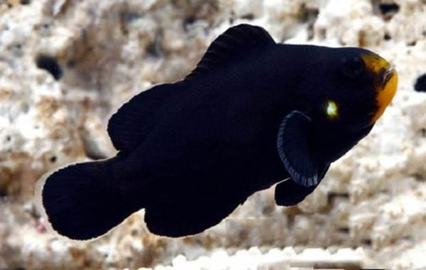 Рыба-клоун-Описание-особенности-виды-образ-жизни-и-среда-обитания-рыбы-клоун-12