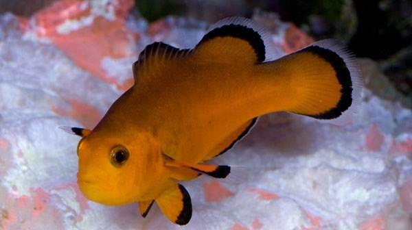 Рыба-клоун-Описание-особенности-виды-образ-жизни-и-среда-обитания-рыбы-клоун-13