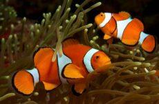Рыба-клоун. Описание, особенности, виды, образ жизни и среда обитания рыбы-клоун