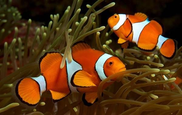 Рыба-клоун-Описание-особенности-виды-образ-жизни-и-среда-обитания-рыбы-клоун-16