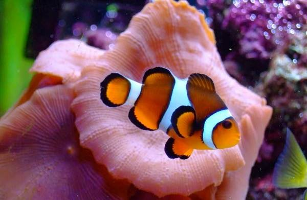 Рыба-клоун-Описание-особенности-виды-образ-жизни-и-среда-обитания-рыбы-клоун-17