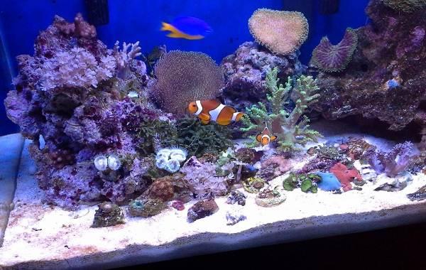 Рыба-клоун-Описание-особенности-виды-образ-жизни-и-среда-обитания-рыбы-клоун-19