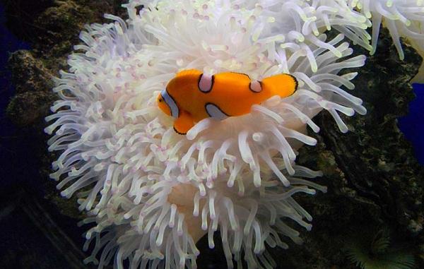 Рыба-клоун-Описание-особенности-виды-образ-жизни-и-среда-обитания-рыбы-клоун-20