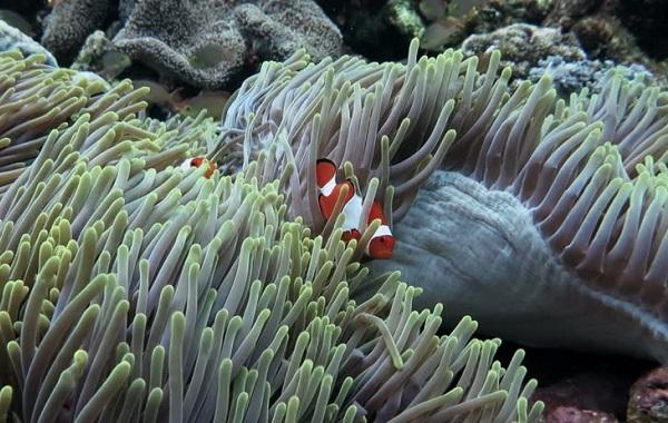 Рыба-клоун-Описание-особенности-виды-образ-жизни-и-среда-обитания-рыбы-клоун-21