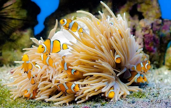 Рыба-клоун-Описание-особенности-виды-образ-жизни-и-среда-обитания-рыбы-клоун-22