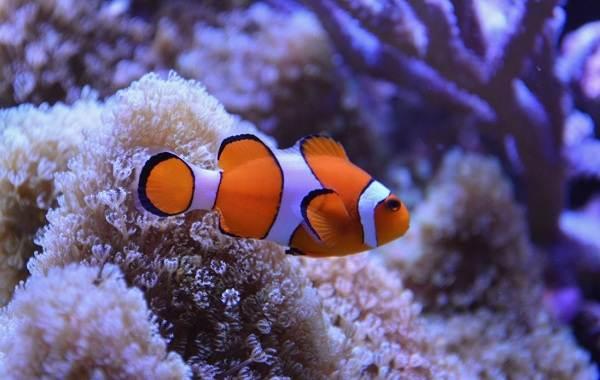 Рыба-клоун-Описание-особенности-виды-образ-жизни-и-среда-обитания-рыбы-клоун-3