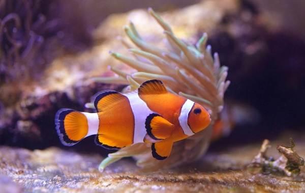 Рыба-клоун-Описание-особенности-виды-образ-жизни-и-среда-обитания-рыбы-клоун-4