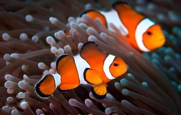 Рыба-клоун-Описание-особенности-виды-образ-жизни-и-среда-обитания-рыбы-клоун-6
