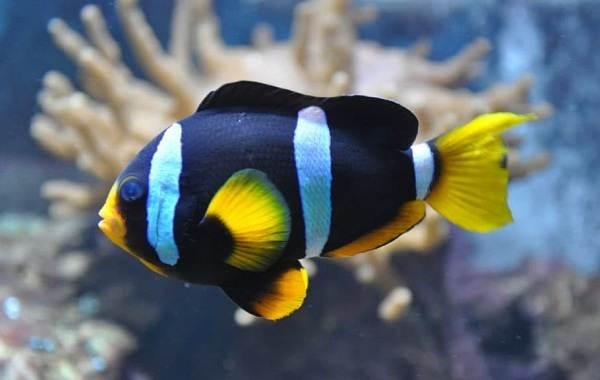Рыба-клоун-Описание-особенности-виды-образ-жизни-и-среда-обитания-рыбы-клоун-7