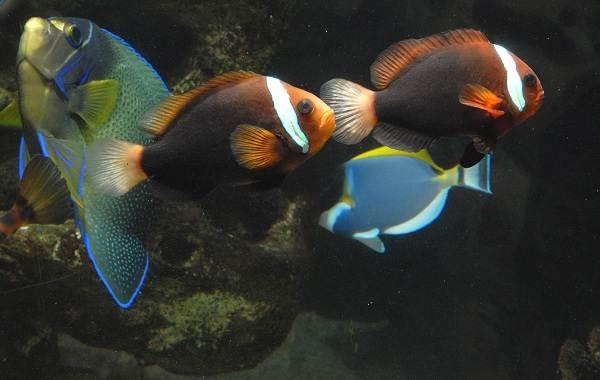 Рыба-клоун-Описание-особенности-виды-образ-жизни-и-среда-обитания-рыбы-клоун-8