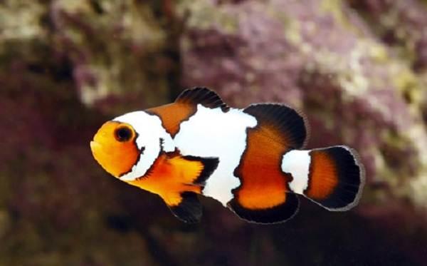 Рыба-клоун-Описание-особенности-виды-образ-жизни-и-среда-обитания-рыбы-клоун-9
