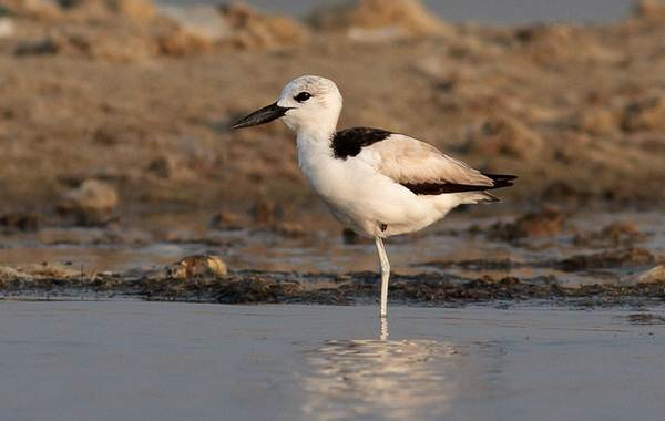 Ржанка-птица-Описание-особенности-виды-образ-жизни-и-среда-обитания-ржанки-7