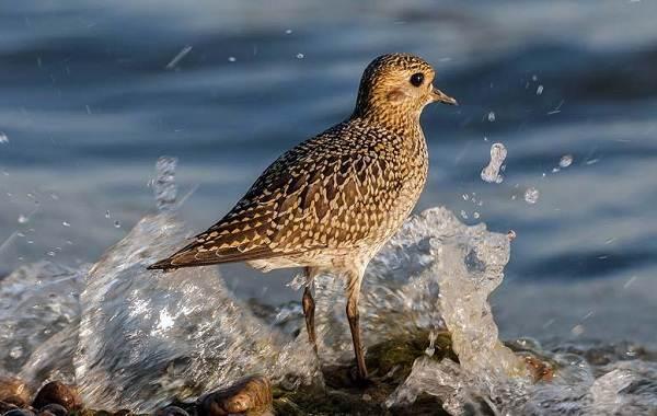Ржанка-птица-Описание-особенности-виды-образ-жизни-и-среда-обитания-ржанки-8