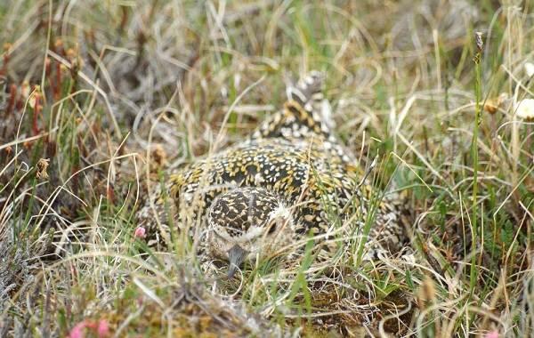 Ржанка-птица-Описание-особенности-виды-образ-жизни-и-среда-обитания-ржанки-9