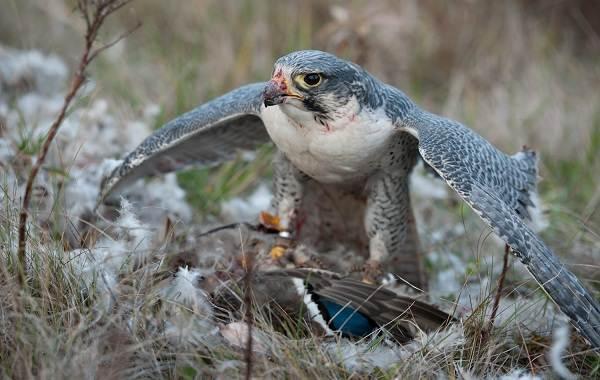 Сапсан-птица-Описание-особенности-виды-образ-жизни-и-среда-обитания-сапсана-11