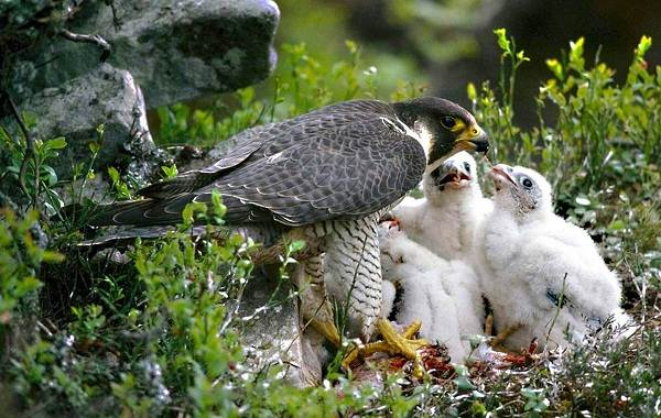 Сапсан-птица-Описание-особенности-виды-образ-жизни-и-среда-обитания-сапсана-12