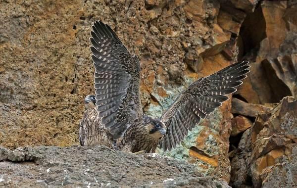 Сапсан-птица-Описание-особенности-виды-образ-жизни-и-среда-обитания-сапсана-13