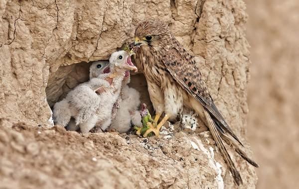 Сапсан-птица-Описание-особенности-виды-образ-жизни-и-среда-обитания-сапсана-14