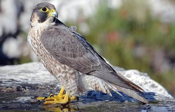 Сапсан-птица-Описание-особенности-виды-образ-жизни-и-среда-обитания-сапсана-2